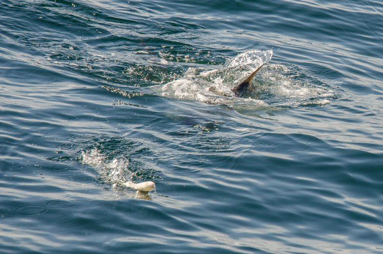 Topwater Striper Fishing