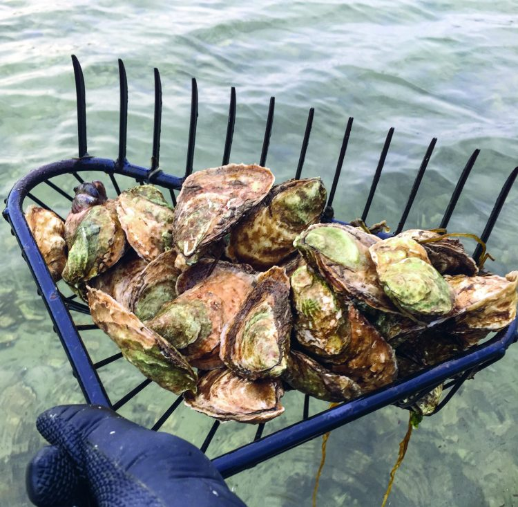 Rake full of oysters
