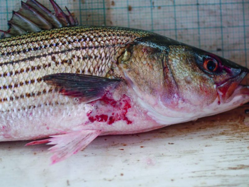 Striped Bass Mycobacteriosis