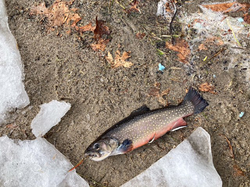 MA brook trout