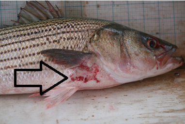 Striped Bass Infected With Mycobacteriosis