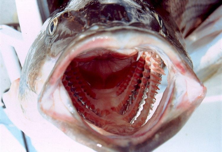 Open Striper Mouth