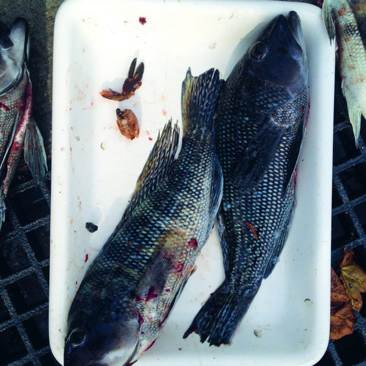 Black Sea Bass Eat Crustaceans