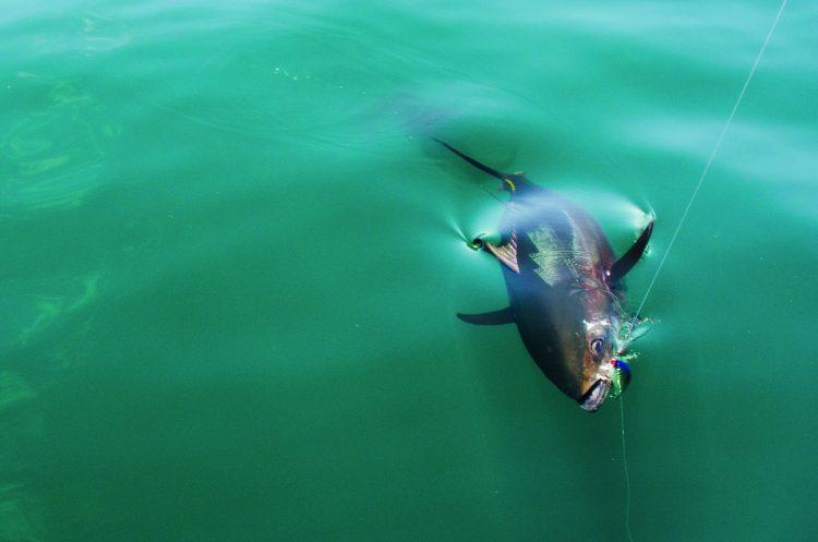 Strategic Lures Bluefin Tuna