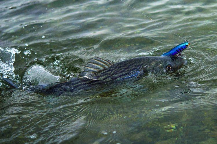 Topwater Striper Lure