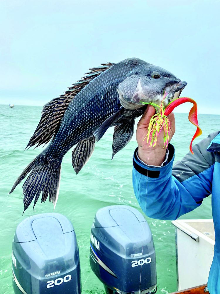 Black Sea Bass Teaser