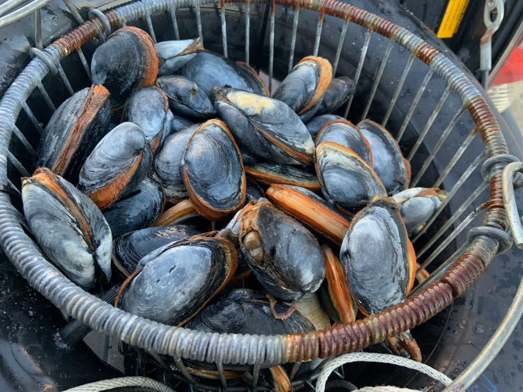 Steamer clams in a basket