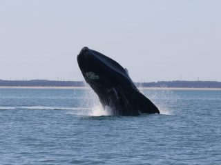 Right Whale Breaching