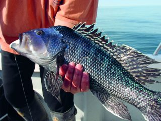 Black Sea Bass Climate Change