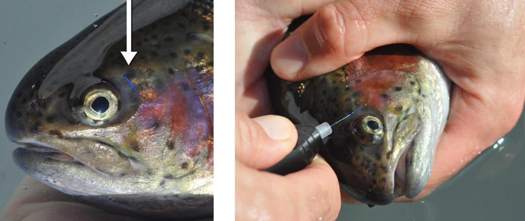rainbow trout VIE tag
