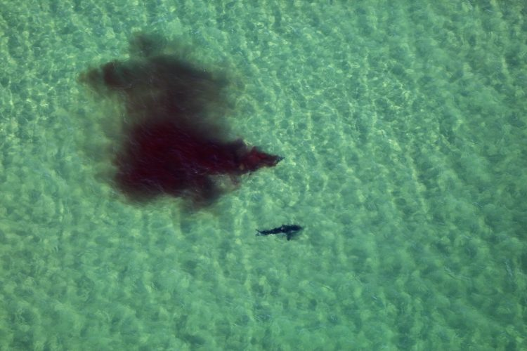 Great White Shark Nauset Beach Attack