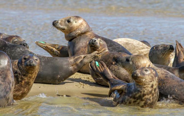 Gray Seals Chatham Harbor