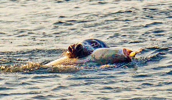 Striper Seal Cape Cod Canal - John Doble