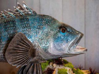 sea bass taxidermy