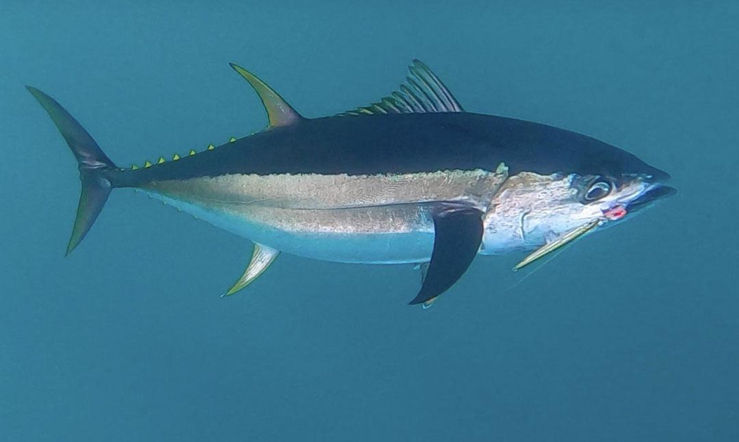 bluefin hooked on a Hogy jig