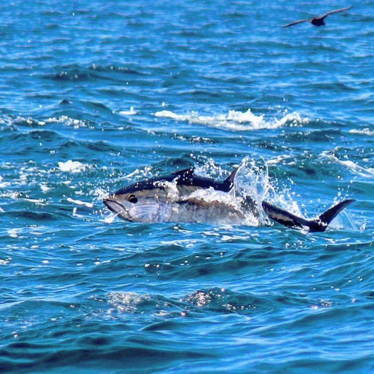 Breaking Bluefin Tuna