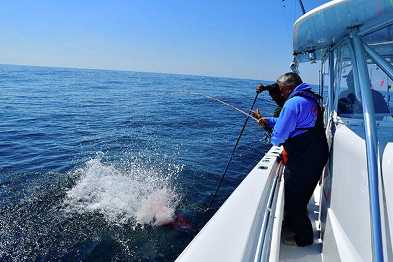 gaffing a tuna