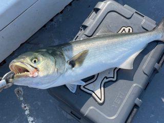 Diamond Pass Outfitters bluefish