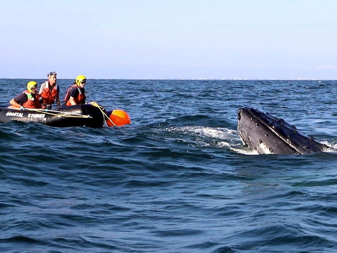 disentangle a humpback whale